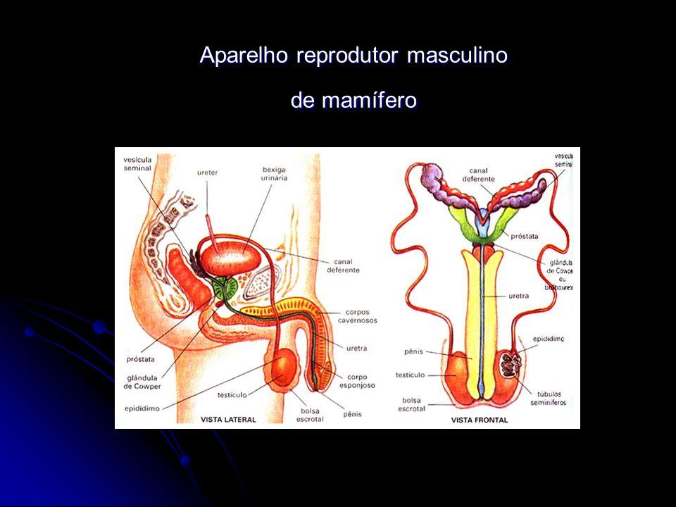 Aparelho reprodutor masculino de mamífero