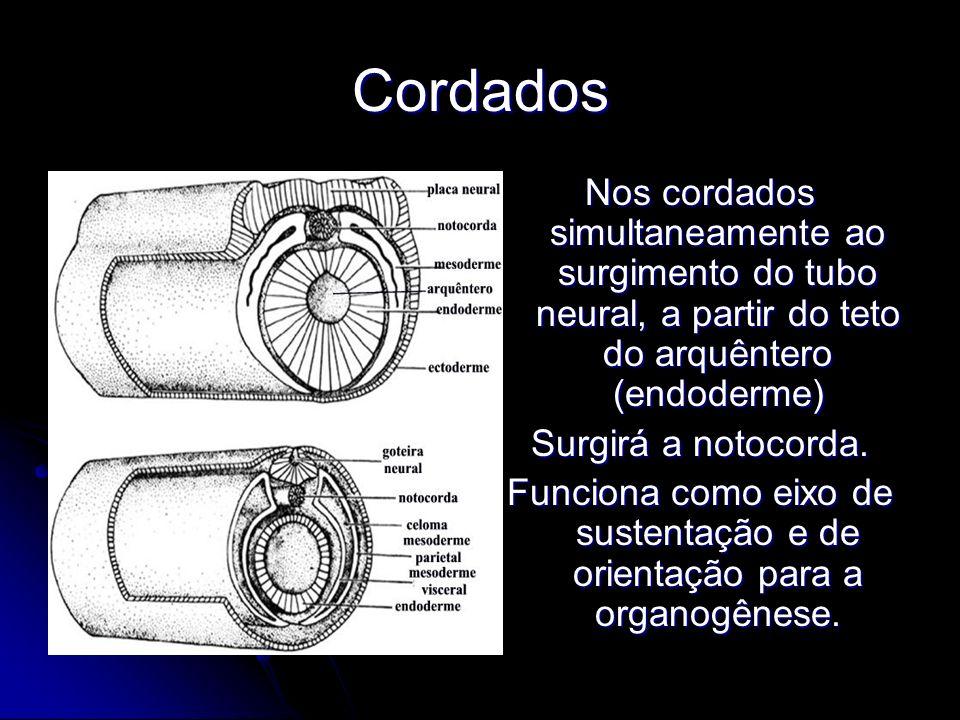 Funciona como eixo de sustentação e de orientação para a organogênese.