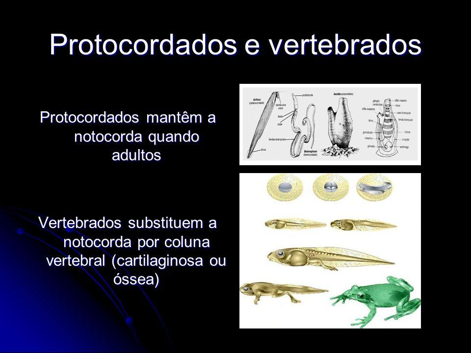 Protocordados e vertebrados