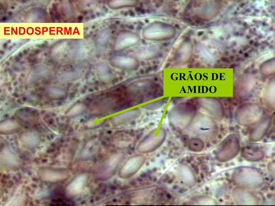 ENDOSPERMA GRÃOS DE AMIDO