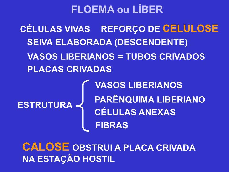 SEIVA ELABORADA (DESCENDENTE) VASOS LIBERIANOS = TUBOS CRIVADOS