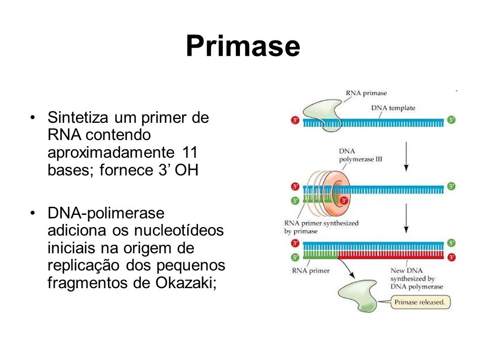 Primase Sintetiza um primer de RNA contendo aproximadamente 11 bases; fornece 3' OH.