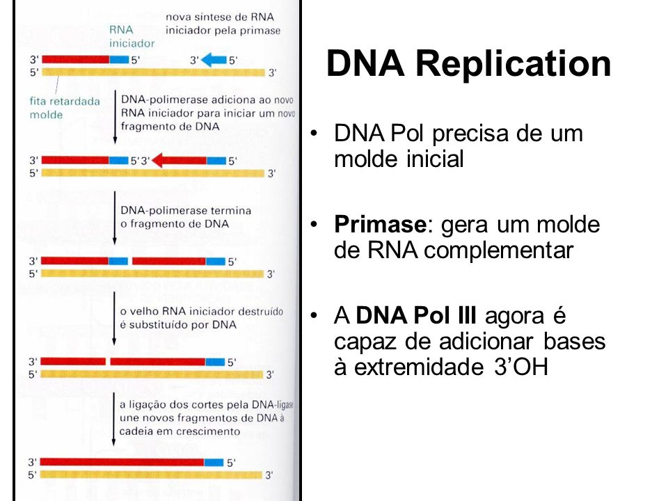 DNA Replication DNA Pol precisa de um molde inicial