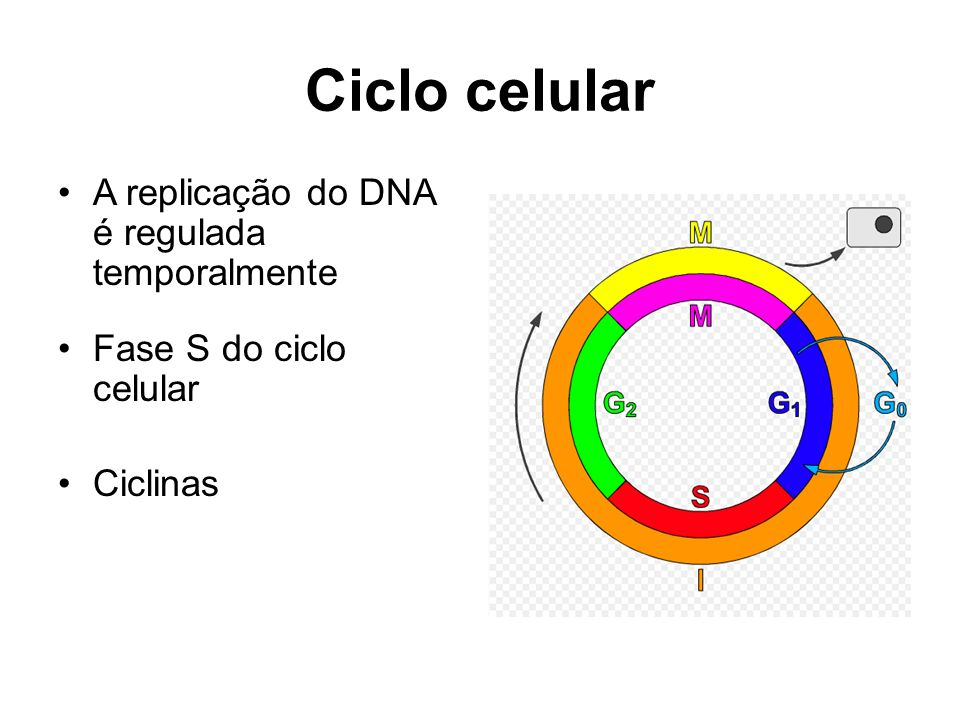 Ciclo celular A replicação do DNA é regulada temporalmente