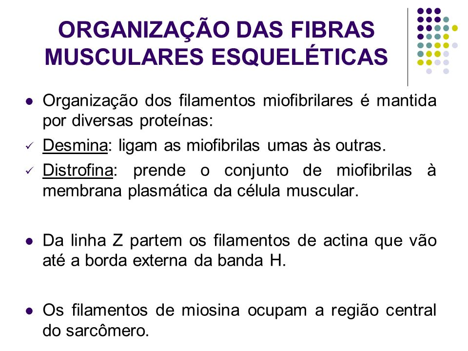 ORGANIZAÇÃO DAS FIBRAS MUSCULARES ESQUELÉTICAS
