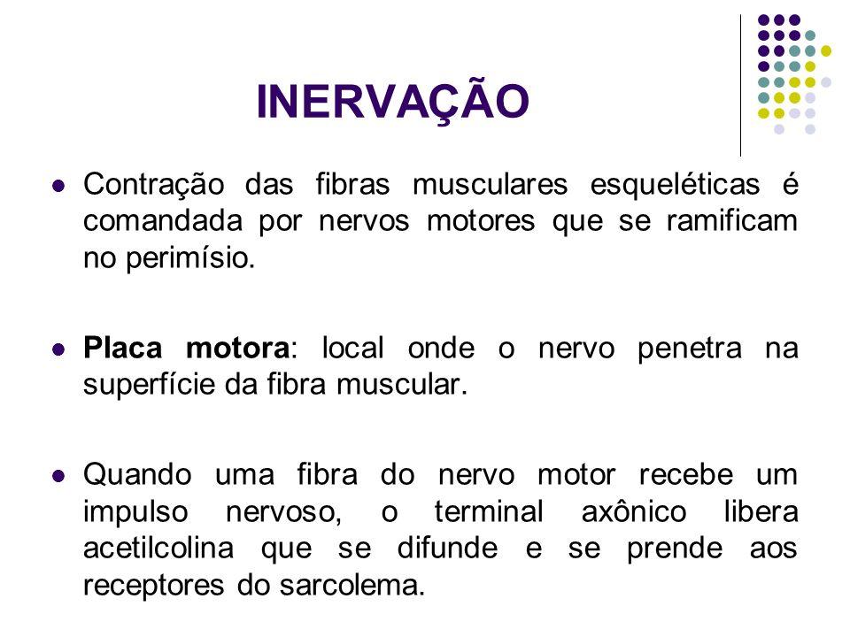 INERVAÇÃO Contração das fibras musculares esqueléticas é comandada por nervos motores que se ramificam no perimísio.
