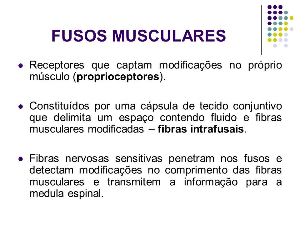FUSOS MUSCULARES Receptores que captam modificações no próprio músculo (proprioceptores).