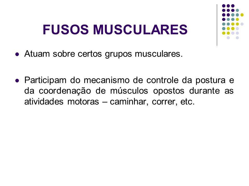 FUSOS MUSCULARES Atuam sobre certos grupos musculares.