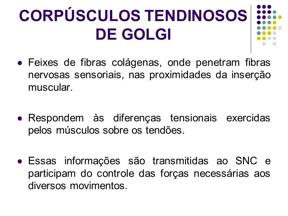 CORPÚSCULOS TENDINOSOS DE GOLGI