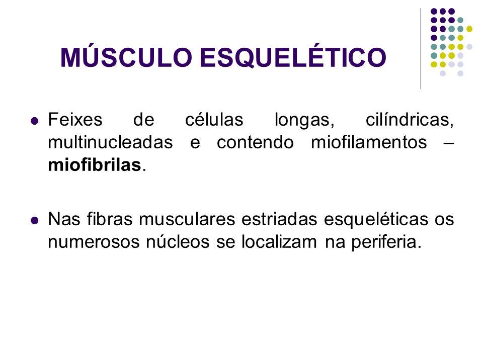 MÚSCULO ESQUELÉTICO Feixes de células longas, cilíndricas, multinucleadas e contendo miofilamentos – miofibrilas.
