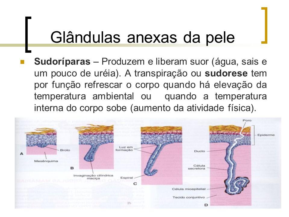 Glândulas anexas da pele