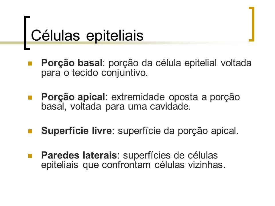 Células epiteliais Porção basal: porção da célula epitelial voltada para o tecido conjuntivo.