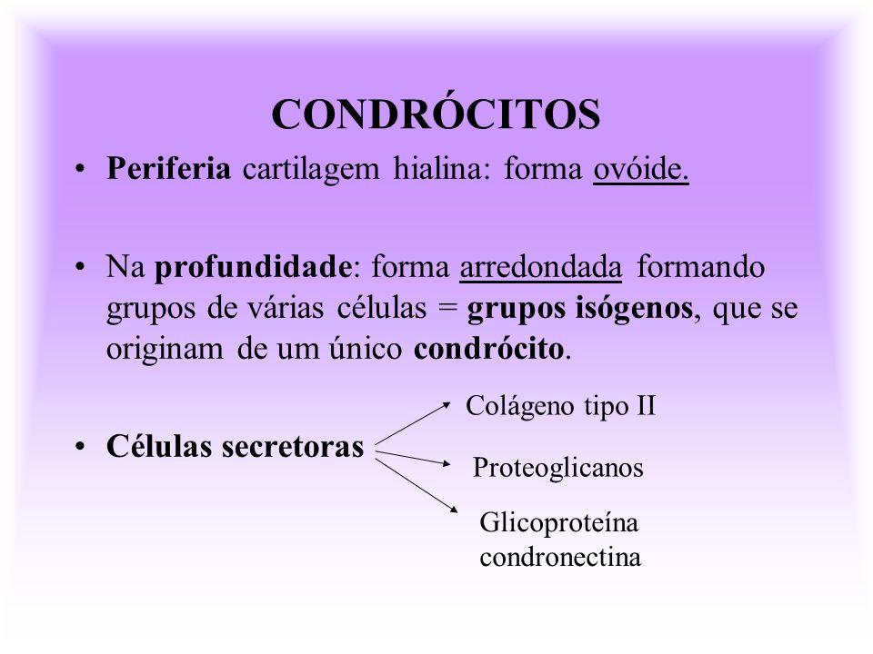 CONDRÓCITOS Periferia cartilagem hialina: forma ovóide.