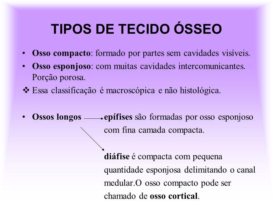TIPOS DE TECIDO ÓSSEO Osso compacto: formado por partes sem cavidades visíveis.