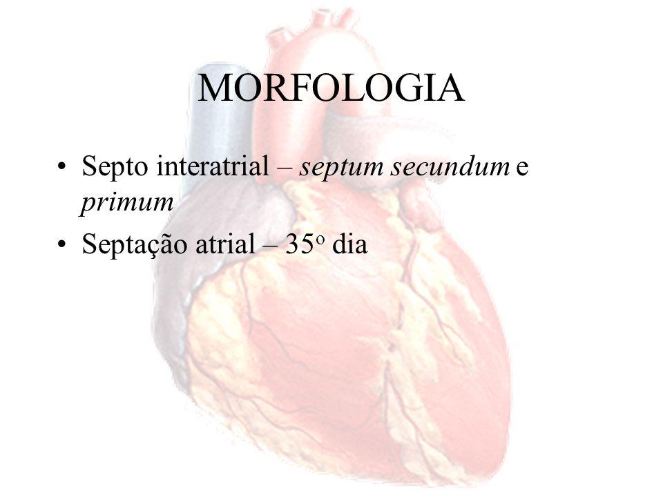 MORFOLOGIA Septo interatrial – septum secundum e primum