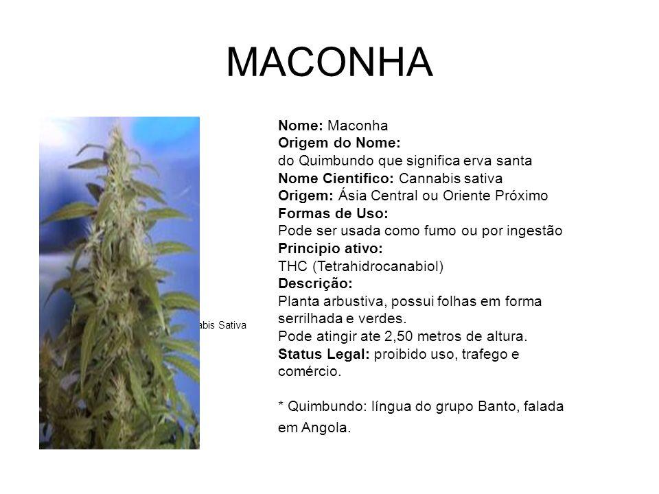 MACONHA Canabis Sativa.