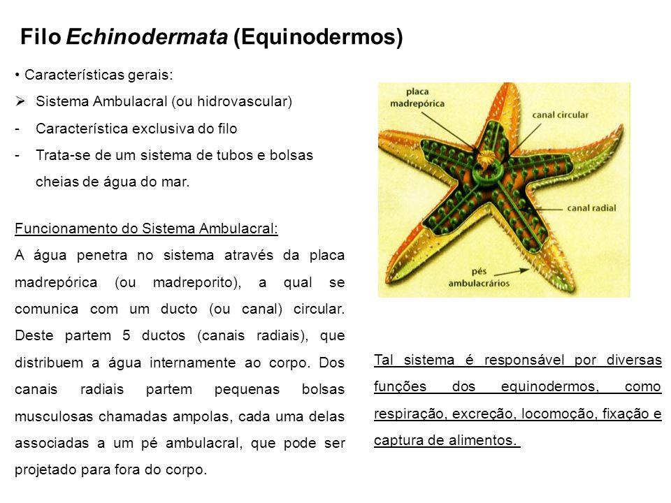 Filo Echinodermata (Equinodermos)