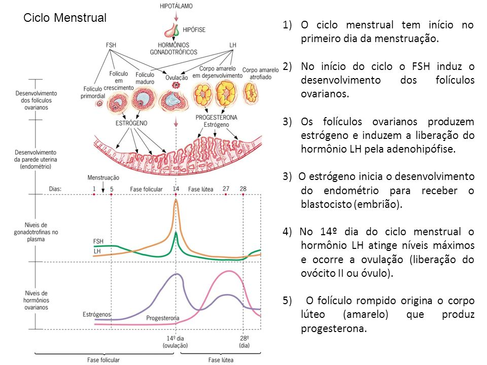 Ciclo Menstrual O ciclo menstrual tem início no primeiro dia da menstruação.
