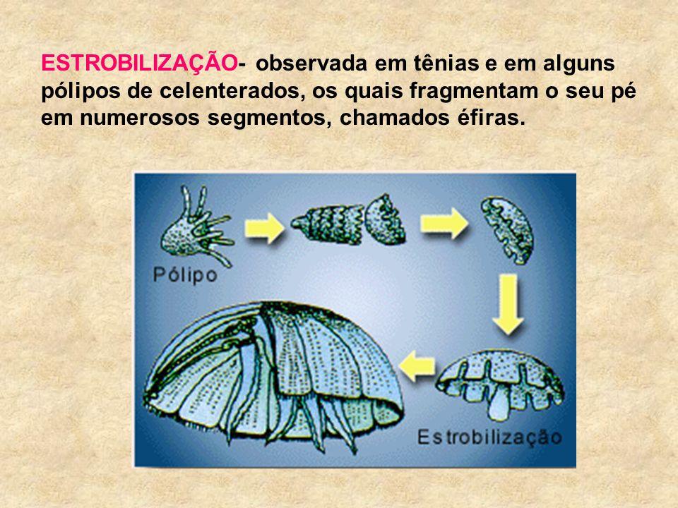 ESTROBILIZAÇÃO- observada em tênias e em alguns pólipos de celenterados, os quais fragmentam o seu pé em numerosos segmentos, chamados éfiras.
