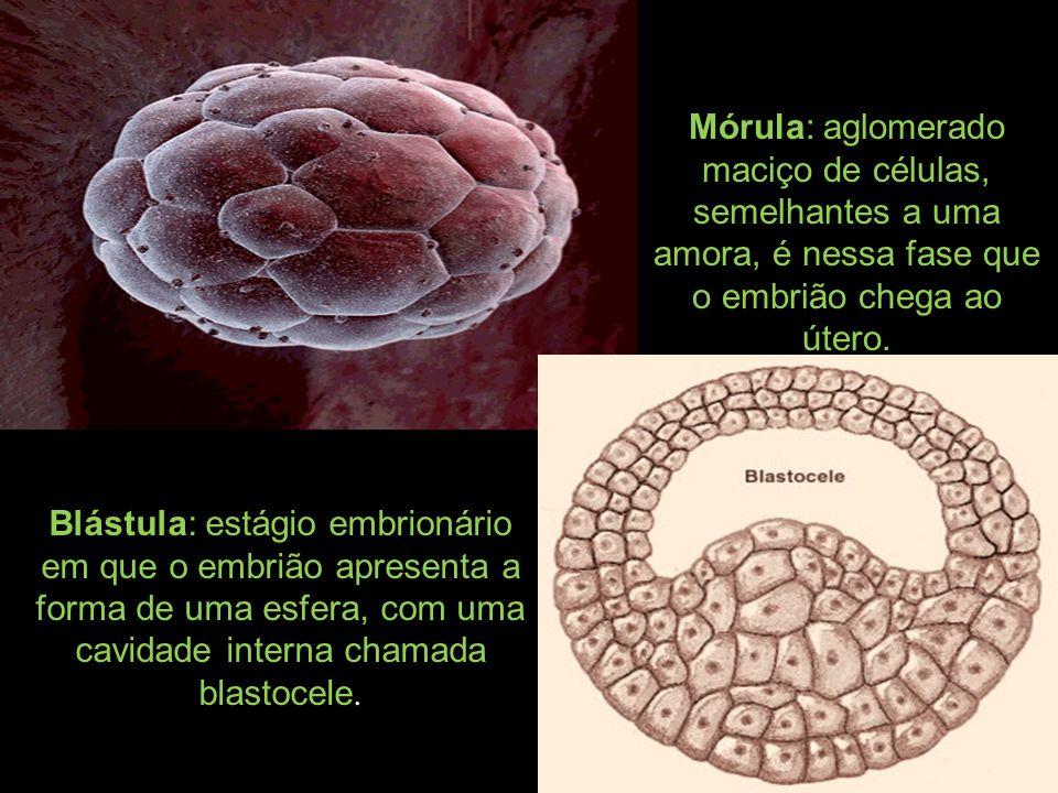 Mórula: aglomerado maciço de células, semelhantes a uma amora, é nessa fase que o embrião chega ao útero.