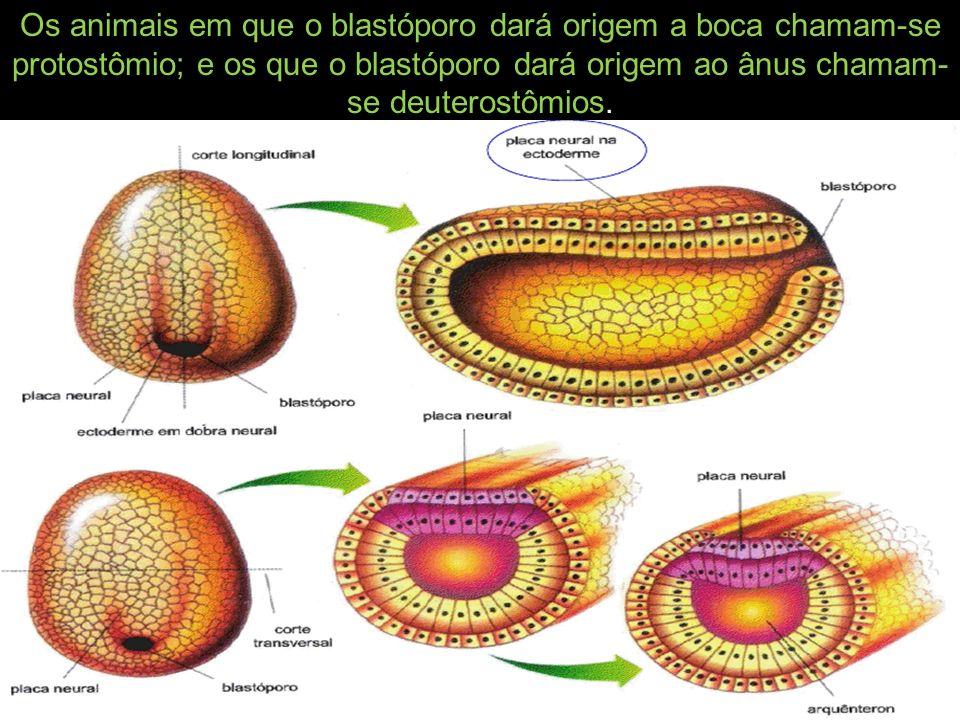 Os animais em que o blastóporo dará origem a boca chamam-se protostômio; e os que o blastóporo dará origem ao ânus chamam-se deuterostômios.