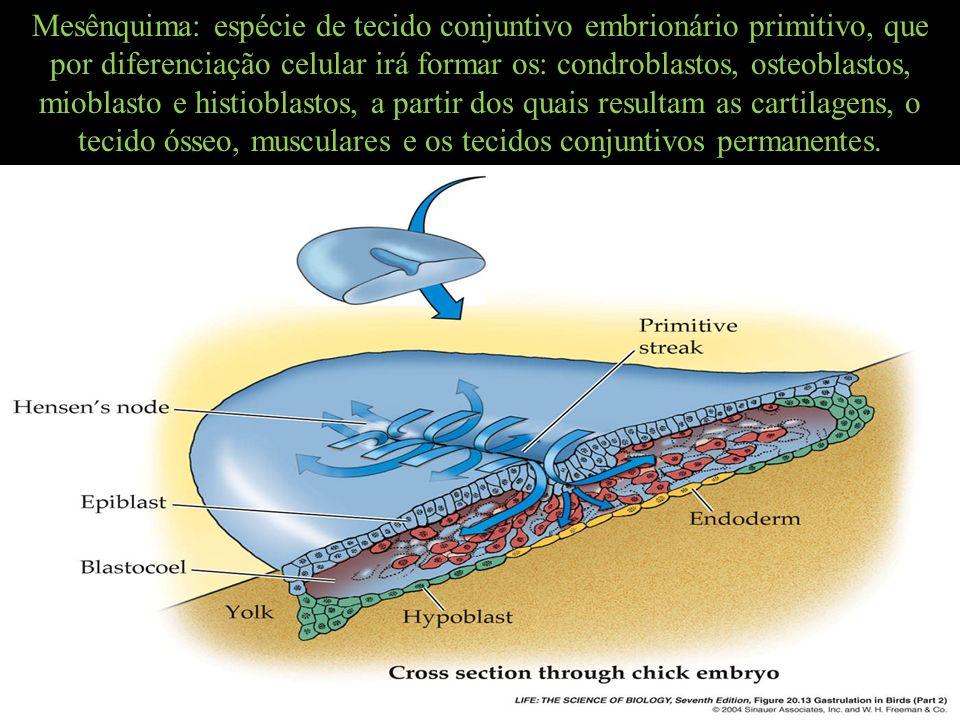 Mesênquima: espécie de tecido conjuntivo embrionário primitivo, que por diferenciação celular irá formar os: condroblastos, osteoblastos, mioblasto e histioblastos, a partir dos quais resultam as cartilagens, o tecido ósseo, musculares e os tecidos conjuntivos permanentes.