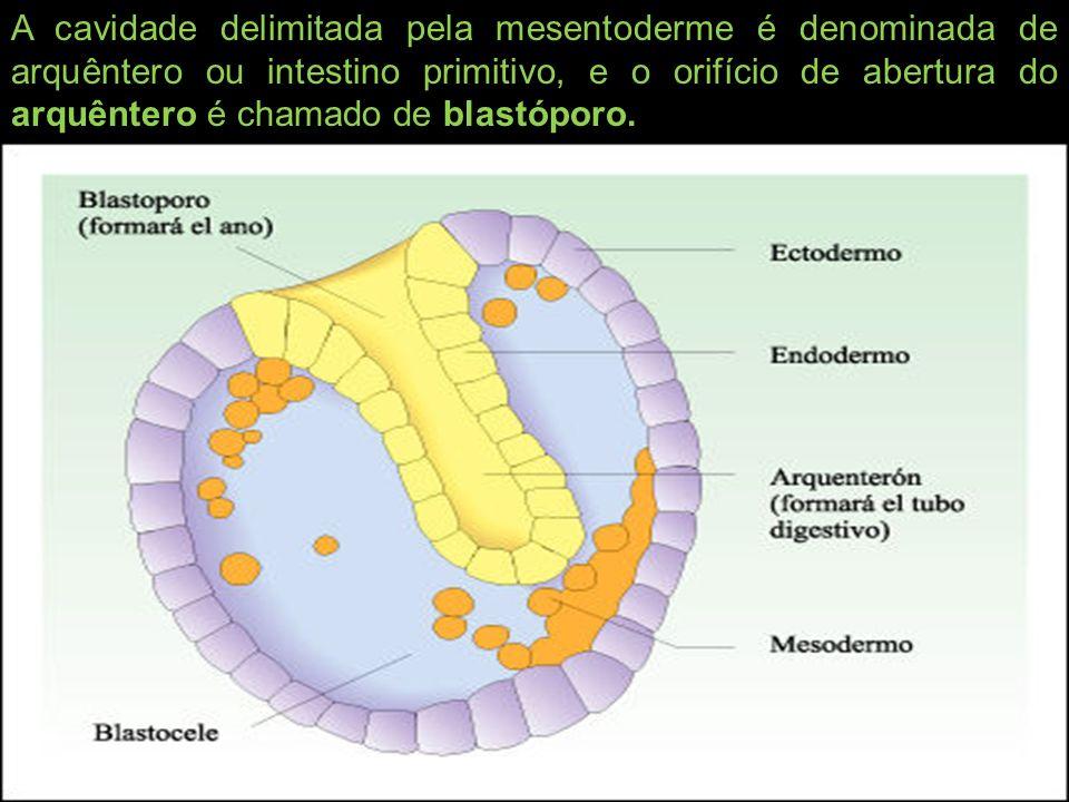 A cavidade delimitada pela mesentoderme é denominada de arquêntero ou intestino primitivo, e o orifício de abertura do arquêntero é chamado de blastóporo.