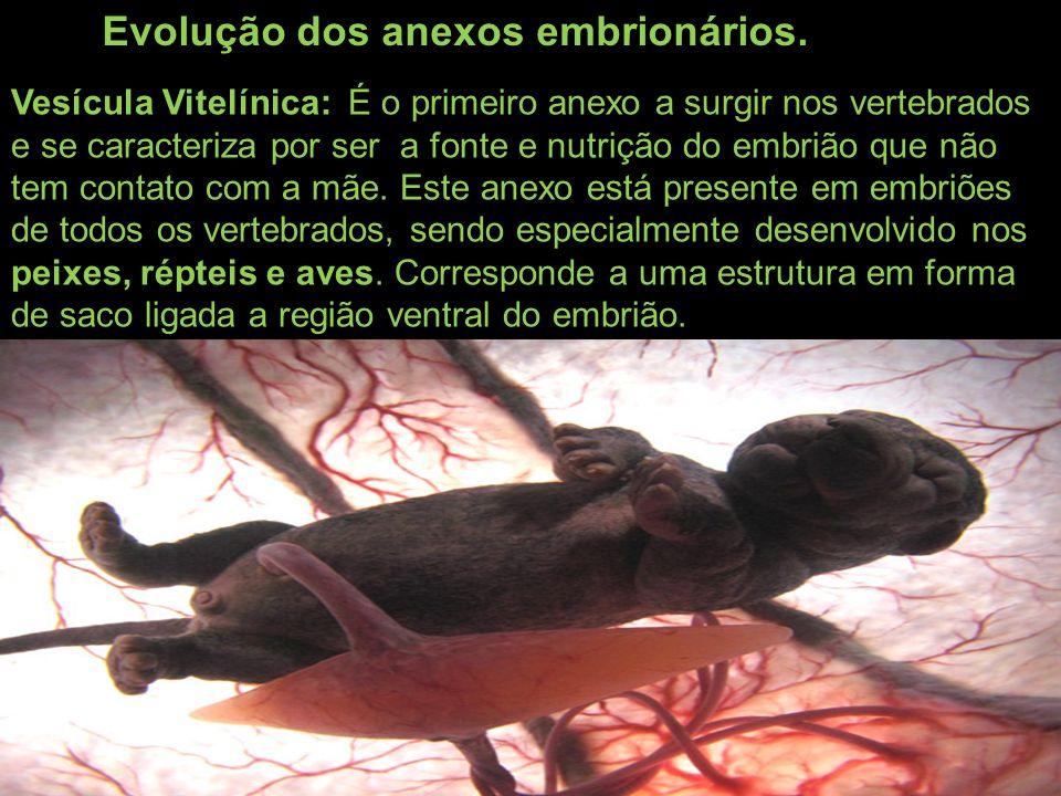 Evolução dos anexos embrionários.