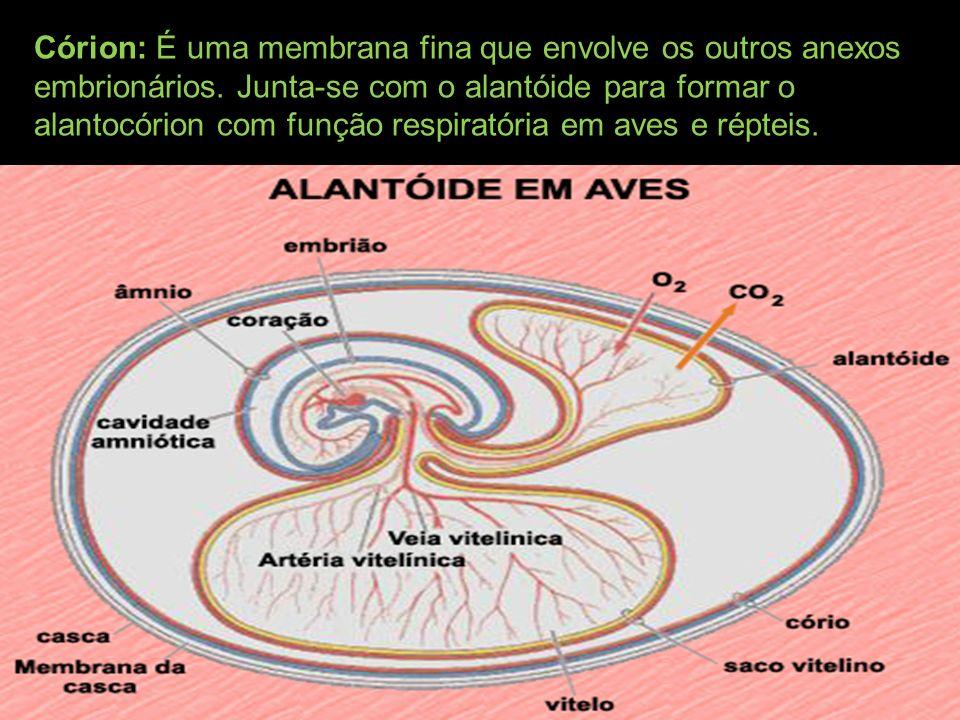 Córion: É uma membrana fina que envolve os outros anexos embrionários