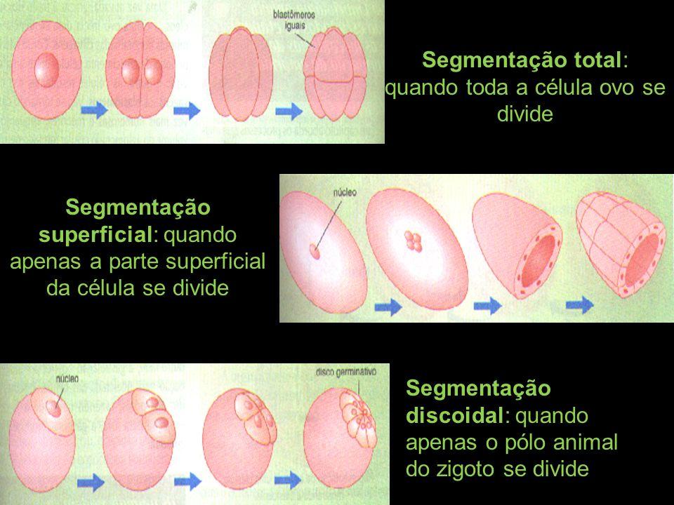 Segmentação total: quando toda a célula ovo se divide