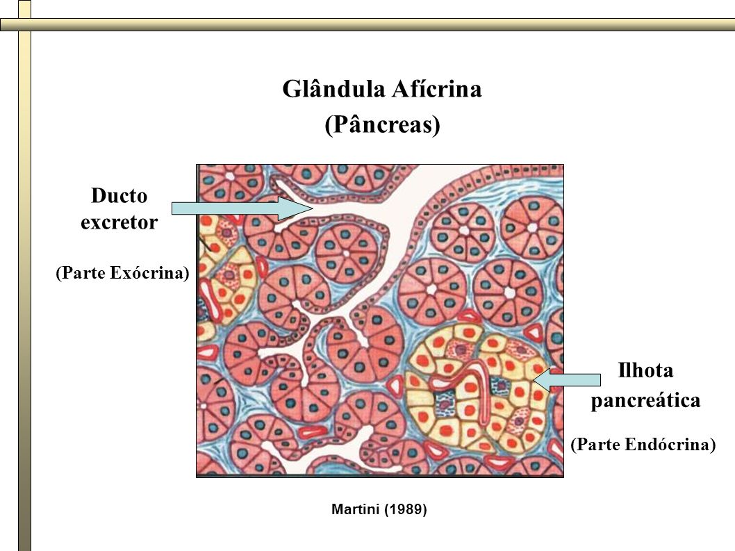 Glândula Afícrina (Pâncreas)