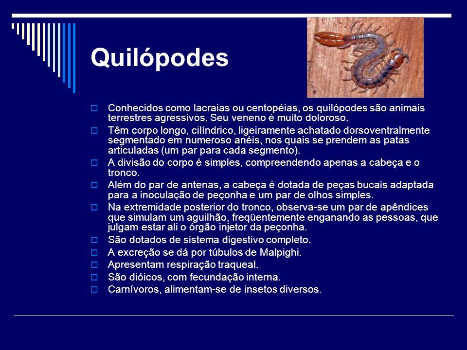Quilópodes Conhecidos como lacraias ou centopéias, os quilópodes são animais terrestres agressivos. Seu veneno é muito doloroso.