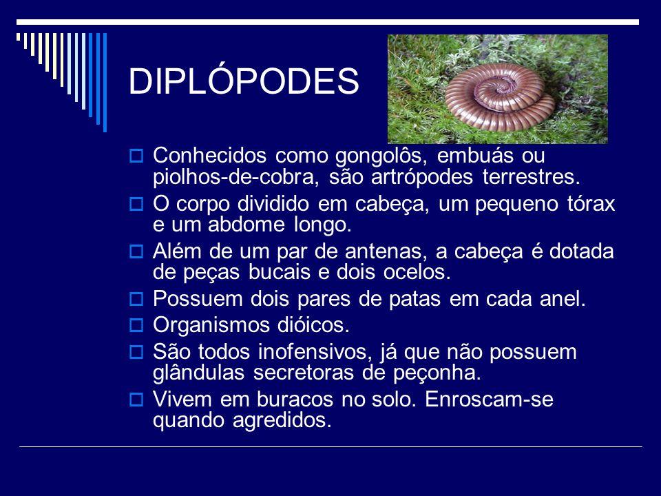 DIPLÓPODES Conhecidos como gongolôs, embuás ou piolhos-de-cobra, são artrópodes terrestres.