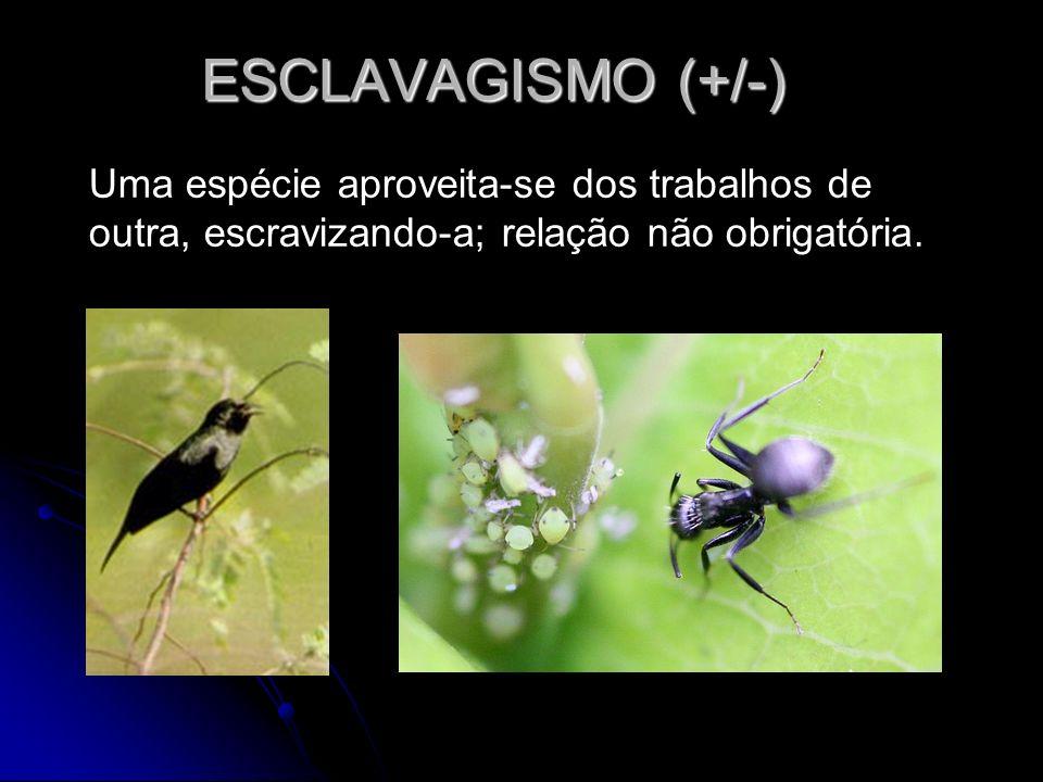 ESCLAVAGISMO (+/-)Uma espécie aproveita-se dos trabalhos de outra, escravizando-a; relação não obrigatória.