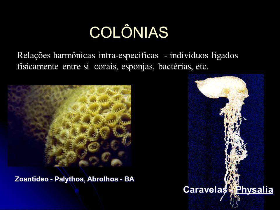 COLÔNIAS Relações harmônicas intra-específicas - indivíduos ligados fisicamente entre si corais, esponjas, bactérias, etc.