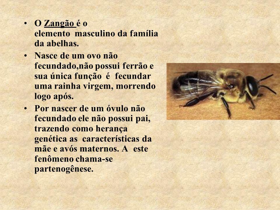 O Zangão é o elemento masculino da família da abelhas.