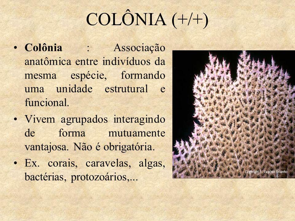 COLÔNIA (+/+) Colônia : Associação anatômica entre indivíduos da mesma espécie, formando uma unidade estrutural e funcional.