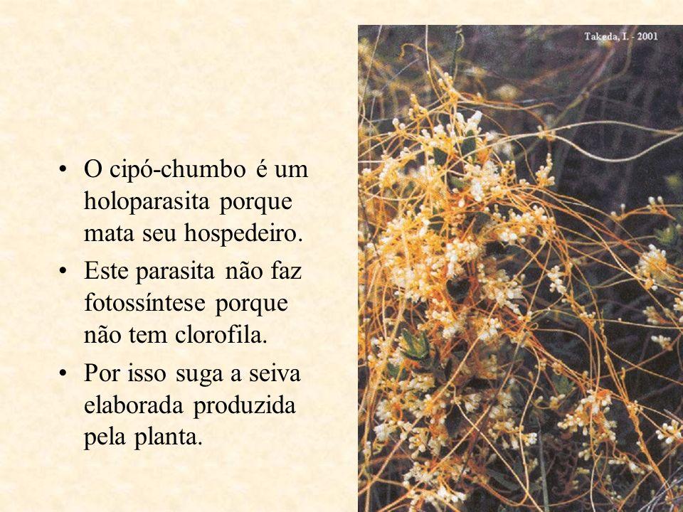 O cipó-chumbo é um holoparasita porque mata seu hospedeiro.