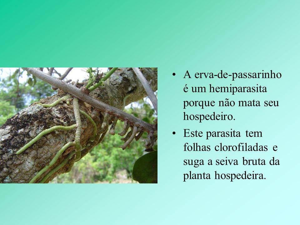 A erva-de-passarinho é um hemiparasita porque não mata seu hospedeiro.