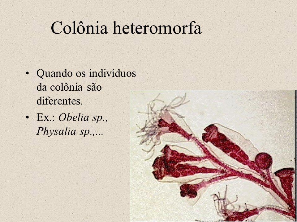 Colônia heteromorfa Quando os indivíduos da colônia são diferentes.