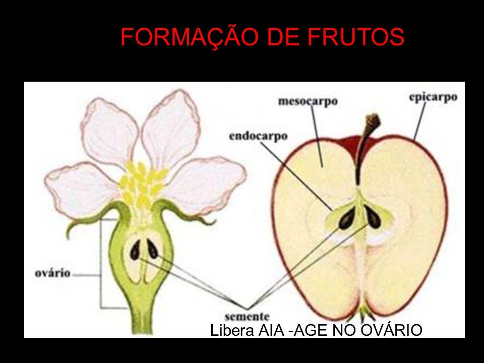 FORMAÇÃO DE FRUTOS Libera AIA -AGE NO OVÁRIO