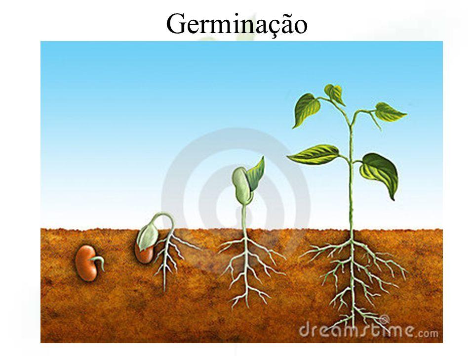 Germinação