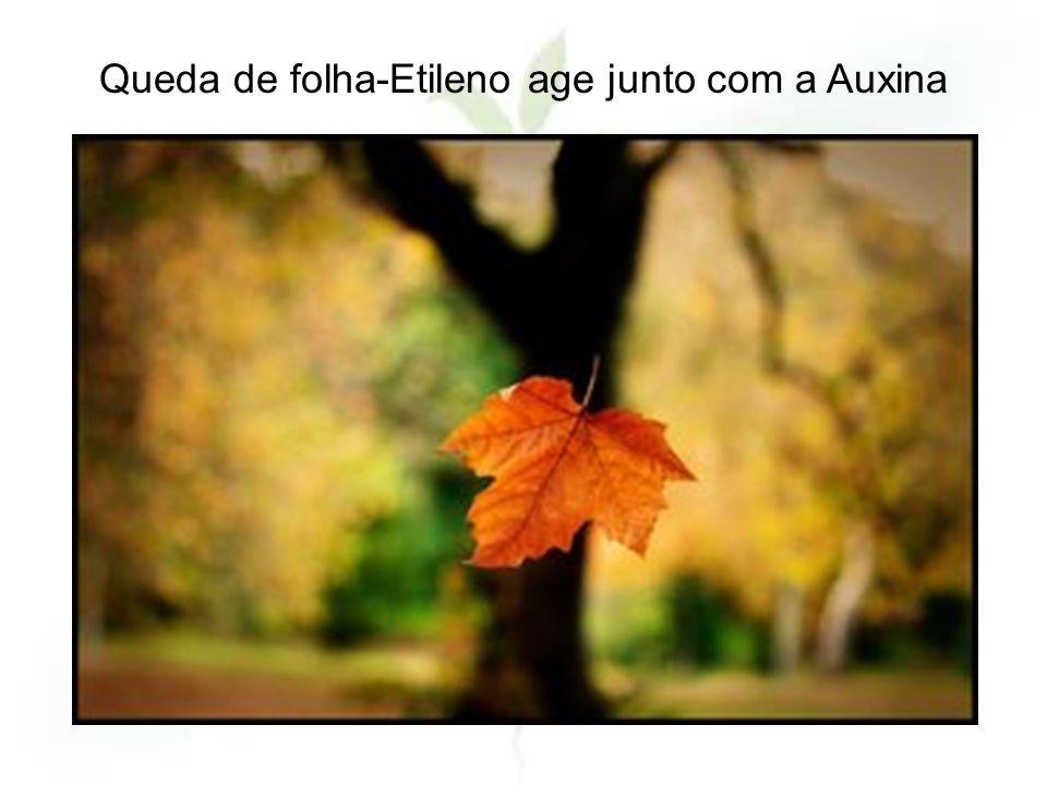 Queda de folha-Etileno age junto com a Auxina
