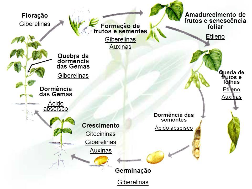 Amadurecimento de frutos e senescência foliar Etileno Floração