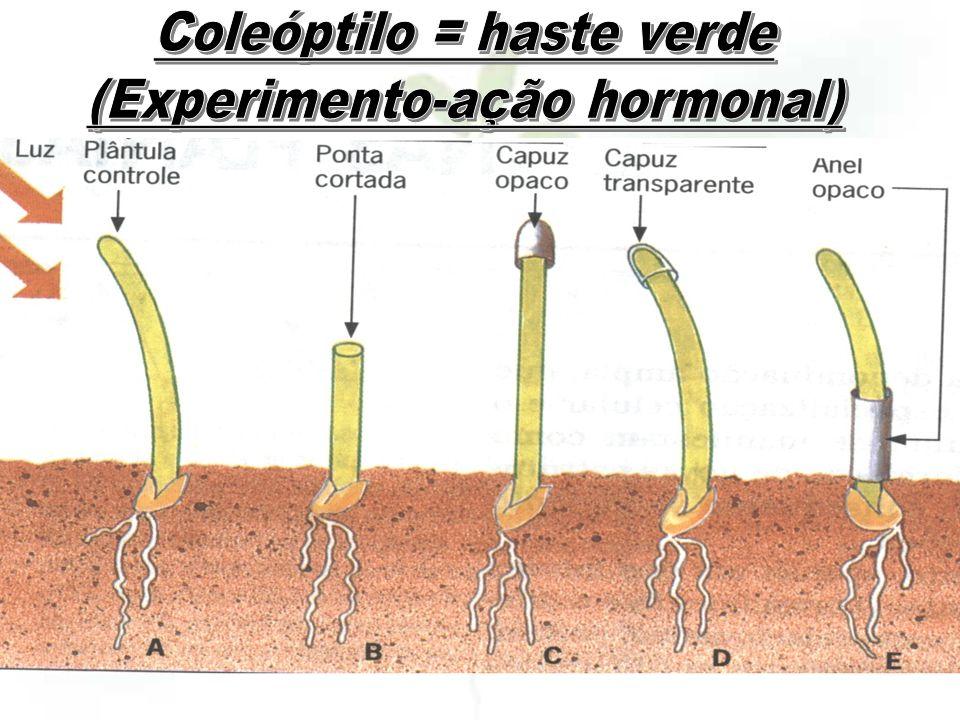 Coleóptilo = haste verde (Experimento-ação hormonal)