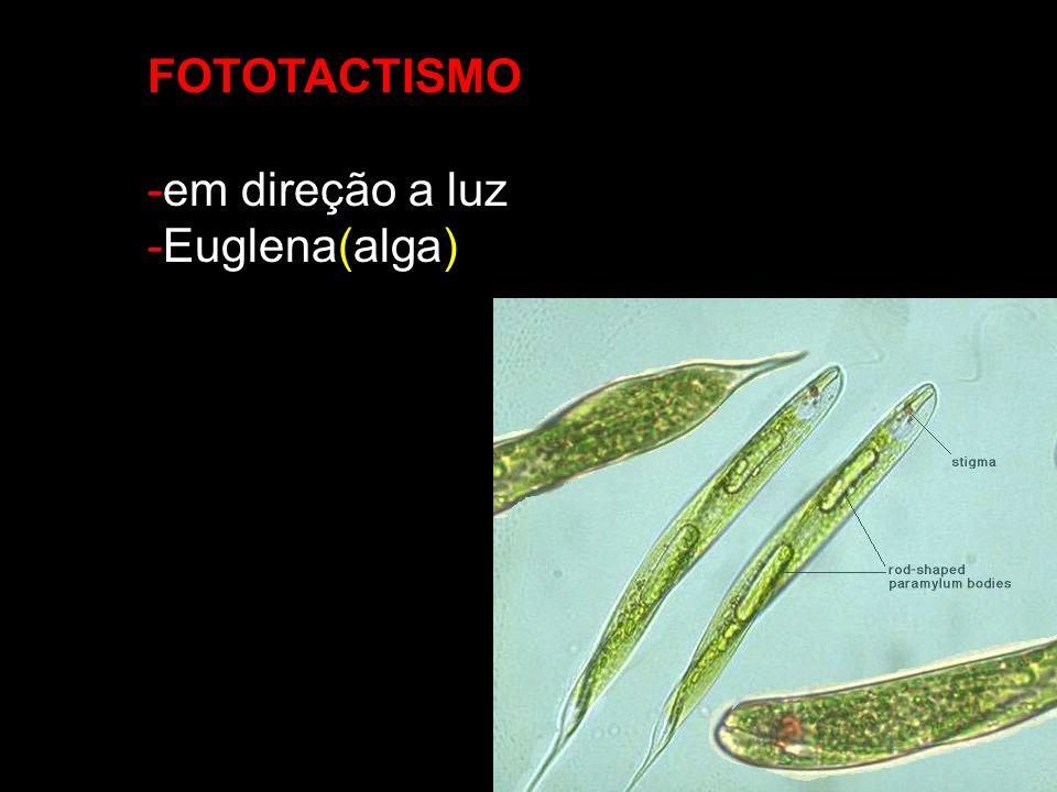 FOTOTACTISMO -em direção a luz -Euglena(alga)