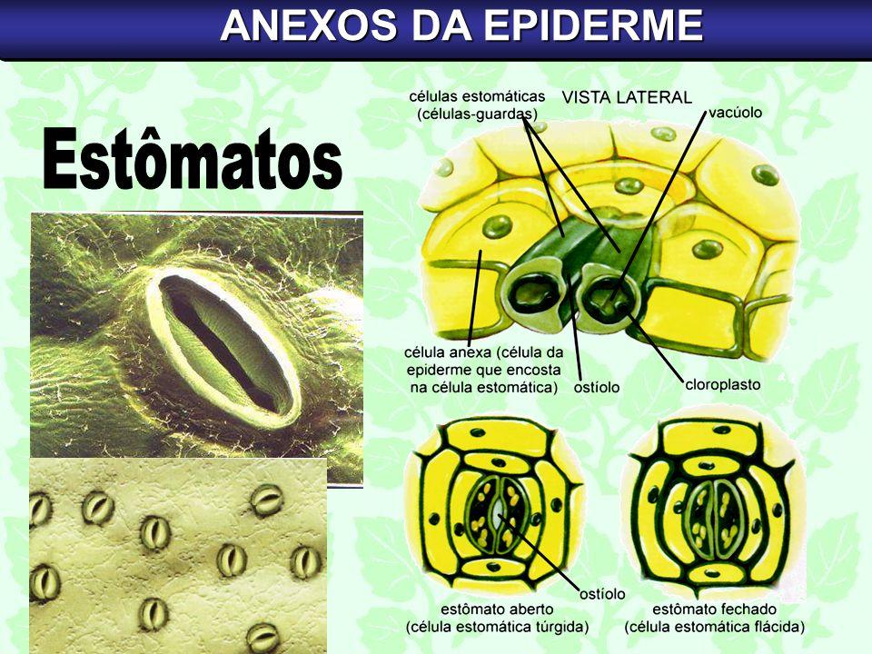 ANEXOS DA EPIDERME Estômatos
