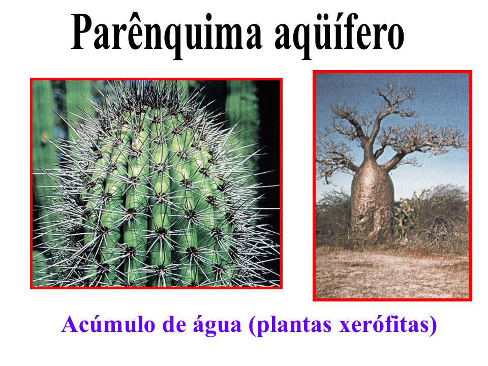 Parênquima aqüífero Acúmulo de água (plantas xerófitas)