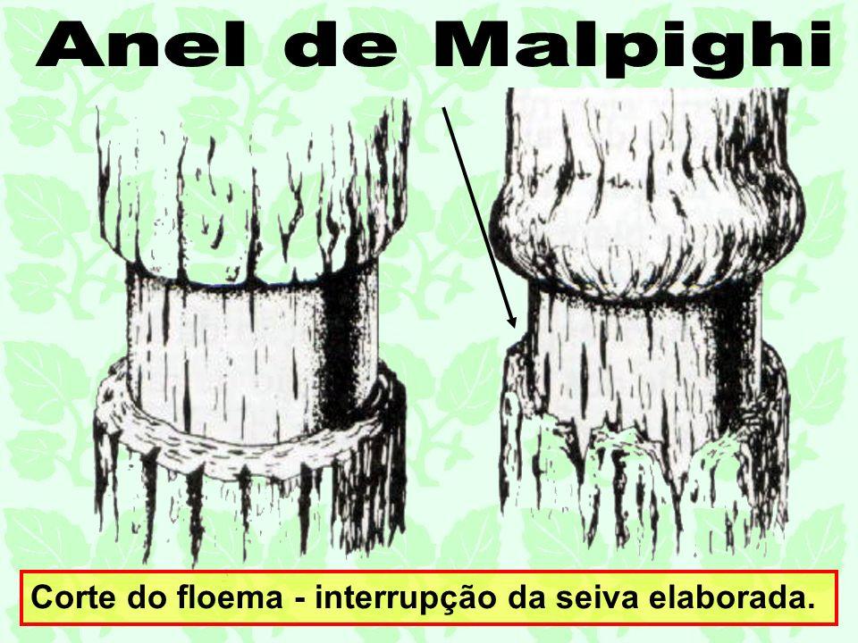 Anel de Malpighi Corte do floema - interrupção da seiva elaborada.