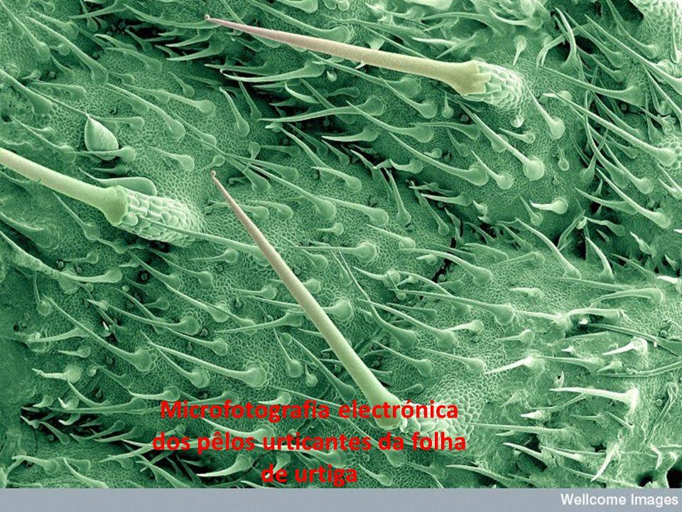 Microfotografia electrónica dos pêlos urticantes da folha de urtiga
